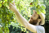 Young bearded boy farmer who gathers pears from trees with straw hat — Stock Photo