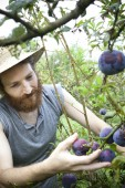 Young bearded boy farmer who gathers prunes from the orchard with straw hat — Stock Photo