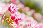 Zoete tulpen — Stockfoto
