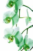 Orchid, green flower — Stock Photo