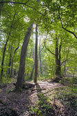 Forest, beech forest, green forest — Foto Stock