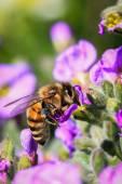 Bee on flower — Stock Photo