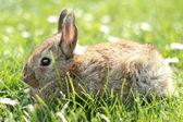 Rabbit — Stok fotoğraf