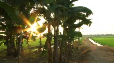Rice fields and palm trees — Stock Video