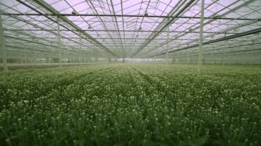Green crops in a greenhouse — Stock Video