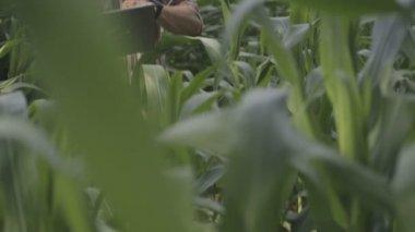Man standing in corn field — Stock Video