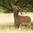 Постер, плакат: Red Deer Deer Cervus elaphus