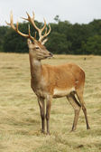 Red Deer, Deer, Cervus elaphus — Stock Photo