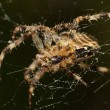 European Garden Spider, Diadem Spider, Cross Spider, Cross Orbweaver, Araneus diadematus — Stock Photo #52837617