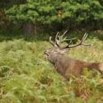 ������, ������: Red Deer Deer Cervus elaphus