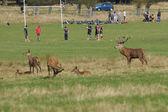 Rugby match, Red Deer, Deer, Cervus elaphus — Stock Photo