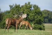 Red Deer, Deer, Cervus elaphus — Stock Photo