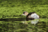Little Grebe, Tachybaptus ruficollis — Stock Photo