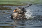 Greylag Goose, Anser anser — Stock Photo