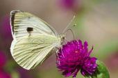Large White, Pieris brassicae — Stock Photo