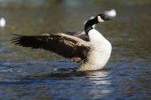 Canada goose, branta canadensis — Stockfoto