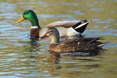 Mallard, Anas platyrhynchos — Stock Photo