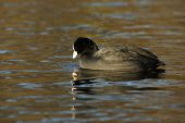 Eurasian Coot, Coot, Fulica atra — Stock Photo