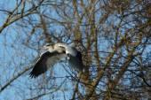 Grey Heron, Ardea cinerea — Stock Photo