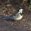 White Wagtail, Pied Wagtail, Motacilla alba — Stock Photo #61366971