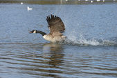 Canada Goose, Branta canadensis — Stock Photo
