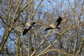 Egyptian Goose, Alopochen aegyptiaca — Stock Photo