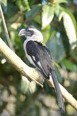 Von der Decken's hornbill, Tockus deckeni — Stock Photo