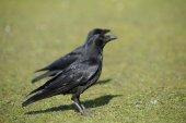 Corneja, corvus corone — Foto de Stock