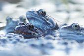 Green Frog, Bronze Frog, Rana clamitans — Stock Photo