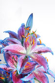 Lilium, Lily, Lilies, Lilium candidum — Stock Photo
