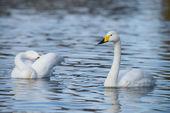 Whooper Swan, Cygnus cygnus — Stock Photo