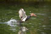 丹顶鹤的内塔 rufina 红头潜鸭 — 图库照片