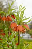 Crown Imperials, Kaiser's Crown, Fritillaria imperialis — Stock Photo