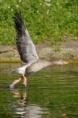 Ballet on the water. Greylag Goose — Stock Photo