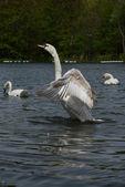Mute Swan, Cygnus olor — Stock Photo