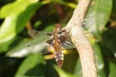 Broad-bodied Chaser — Stock Photo