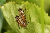Hover fly, hover-fly. Couple in the act of copulation. — Stock Photo