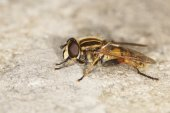 Hover fly, hover-fly — Stock Photo