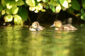 Common Pochard, Pochard - nestlings — Stock Photo