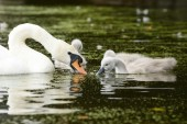 Mute Swan - female with nestlings — Stock Photo
