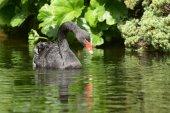 Black Swan, Cygnus atratus — Stock Photo