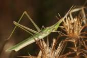 Snouted grasshopper, long-headed grasshopper, Acrida hungarica, Acrida ungarica — Stock Photo