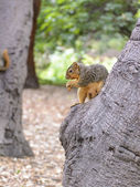 North American squirrel eating ground nuts — Stock Photo