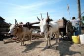 Ox cart at riverside  in Kyaikto city,Myanmar. — Stock Photo