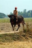 Boy riding a buffalo in Myanmar countryside. — Stock Photo