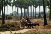 Buffalo carts towed in Myanmar field. — Стоковое фото