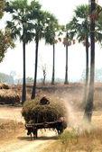 Buffalo carts towed in Myanmar field. — Stock Photo