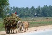 Bullock carts towed in Myanmar field . — Stock Photo