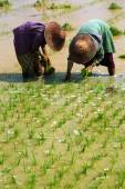 Myanmar farmer working in ricefield. — Stock Photo