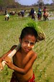 Young Myanmar farmer working in ricefield. — Stock Photo